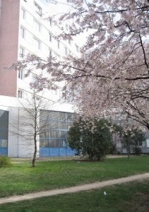 Cerisier en fleurs chez dodelaunay